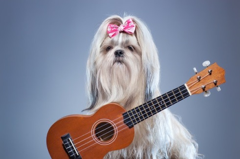 Shih tzu dog with small guitar on blue background.